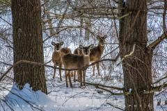Deer_CVNP